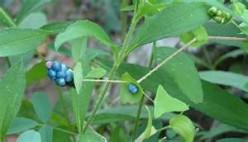 Invasive Species-Mile a Minute Vine