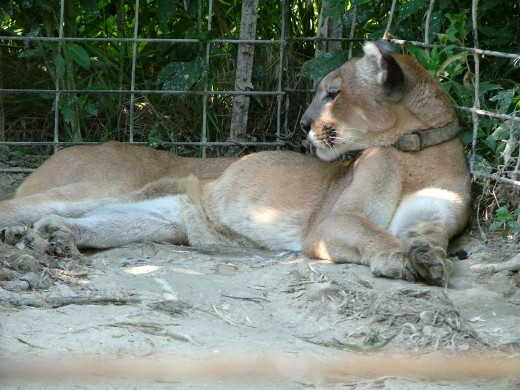 Hope is a rescued cougar living at The Wildcat Sanctuary.  By the time she was rescued from captivity on a farm the five other cougars she lived with had died of starvation.  The photo shows her weighing only 49 pounds when she was living at the farm