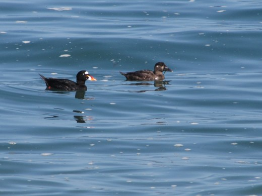 Surf Scoters on the Pacific