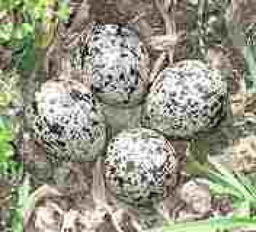 A clutch of well camouflaged Killdeer eggs.