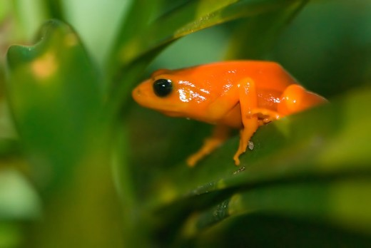 Mantella aurentiaca, the golden mantella is perhaps the most popular species in captivity