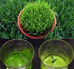 The Miraculous Healing And Nutritional Benefits Of Wheatgrass