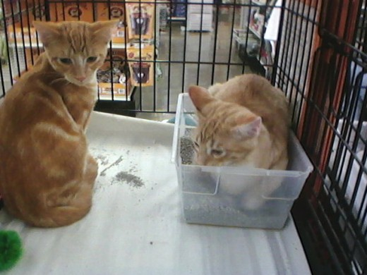 Theses two were my personal fosters.  The silly boy trying to hide in the litterbox is Nugget.  He became a foster failure.  He refused to show well, having decided he was already 'home' with us!