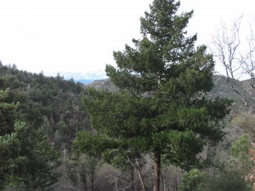 A verdant pine tree.