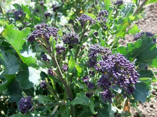 broccoli in season