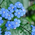 Sweet, happy forget-me-nots
