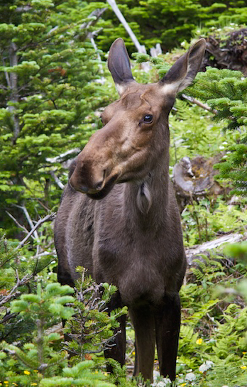 DO NOT approach them. Moose are fierce!