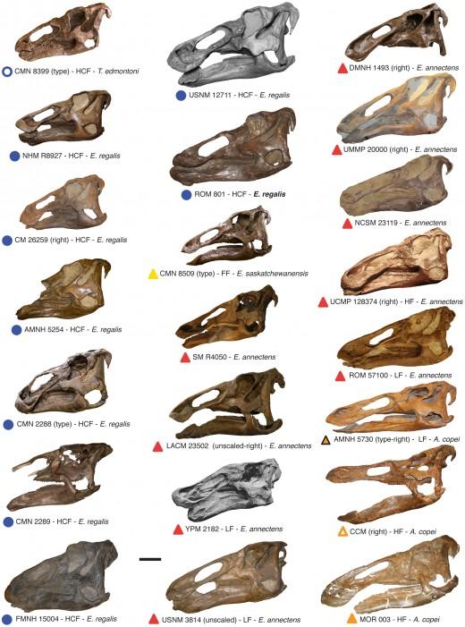 Various Edmontosaur skulls