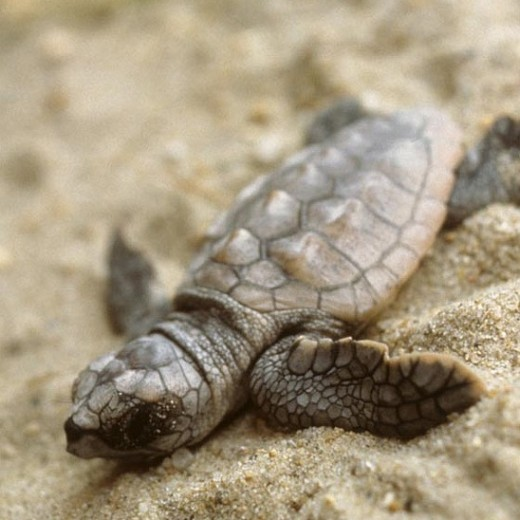 What could be cuter than baby loggerhead turtles?