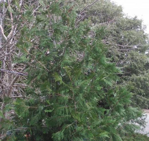 A closeup of a baby cedar tree.