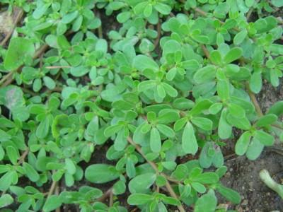 Purslane - tasty and healthy weed