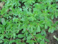 Vegetarian Salad Recipes: Purslane Salad - A Salad From Weed And Its Health Benefits