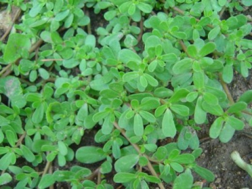 Purslane - tasty and healthy weed