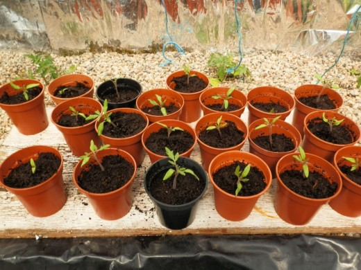 transplanted tomato seedlings