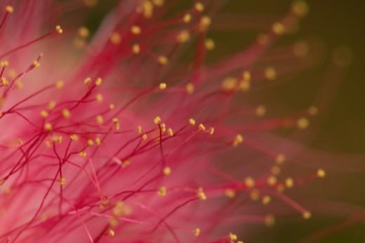 Mimosa Tree blossom close up