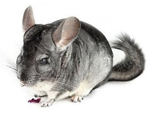 Chinchillas are popular 'exotic' pets.