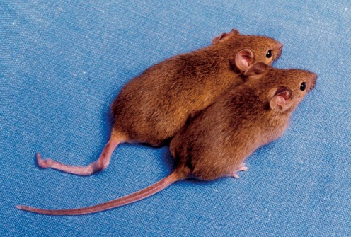 Although these mice were cloned from the same DNA, one has a kinked tail, and the other does not.