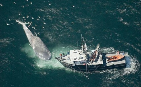 Human beings are the #1 enemy of Blue Whales