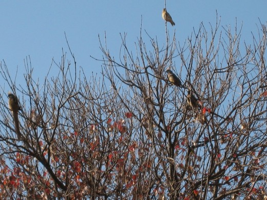 Mousebirds sit atop the Pin Oak tree near my parents' cottage