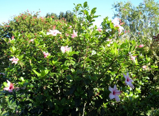 Pink Hibiscus in full bloom at Judy's retirement village in Plettenberg Bay.