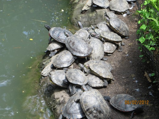 Some of the turtles (I couldn't get them all in one picture.)