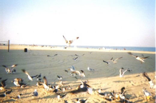 Birds at Ocean City, MD