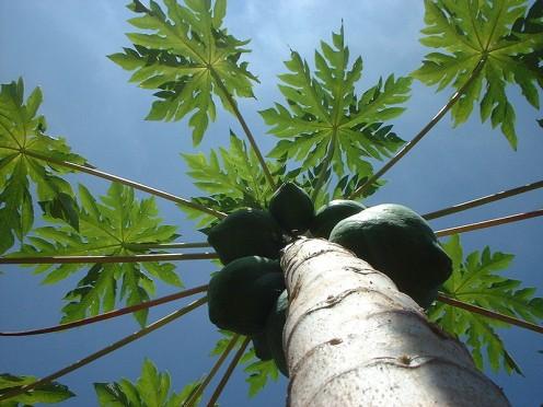 A papaya tree.