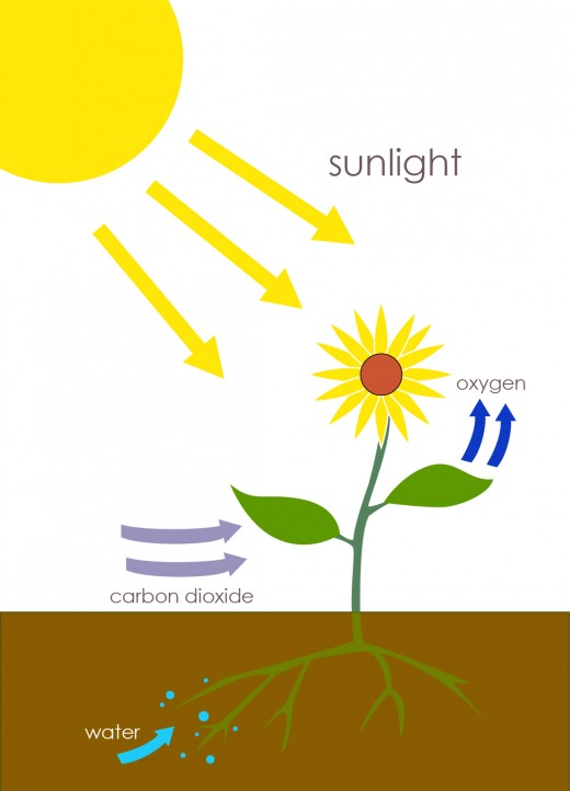 Photosynthesis takes Carbon Dioxide from the atmosphere, water from the soil and energy from the Sun to create sugars for use in Respiration.