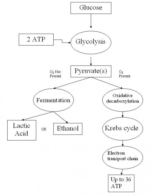A flowchart showing the steps involved in aerobic (right) and anaerobic (left) respiration