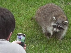 Raccoon Facts And Cute Raccoon Pictures
