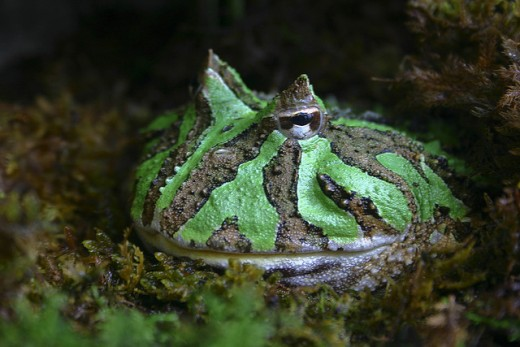 The Argentinian horned frog C. ornata