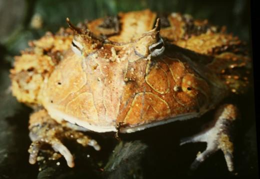 Surinam honred toad, C. cornuta