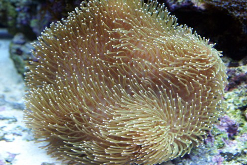 Two months later and it's growing beautifully, changing colour and the polyps are getting longer and at night the male Clownfish has taken up residence in it while it's bossier mate has the anemone all to herself.