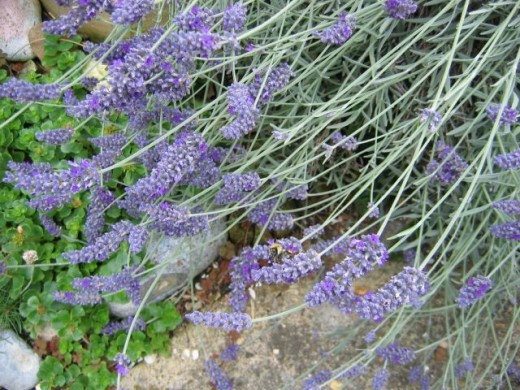 Soothing Lavender, will also help a congested chest.