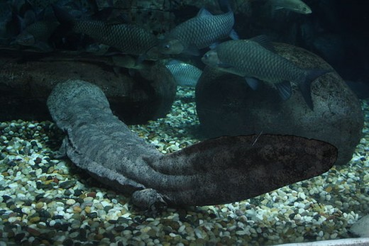 Giant Chinese salamander in Shanghai aquarium
