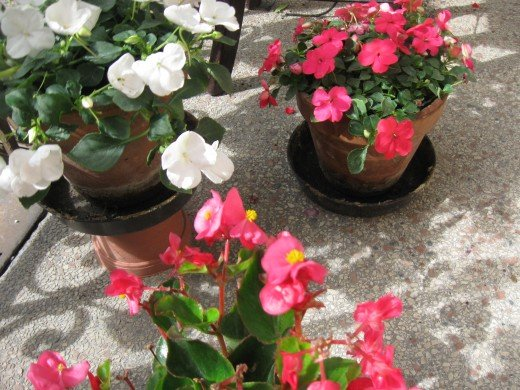 Pink wax begonia & white and pink impatiens