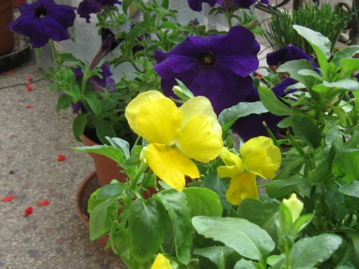 Yellow pansy and fragrant purple petunia with chives in the background