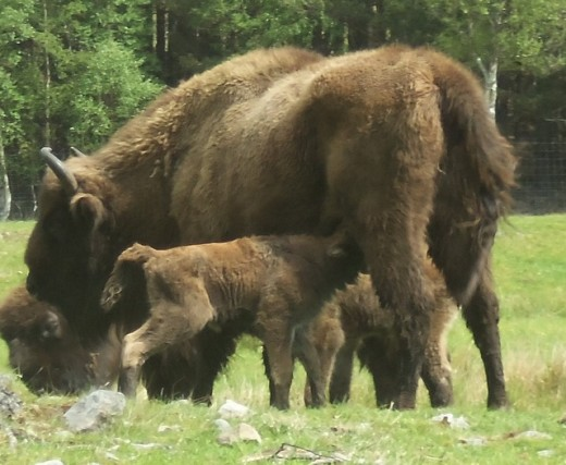 Bison with their young.