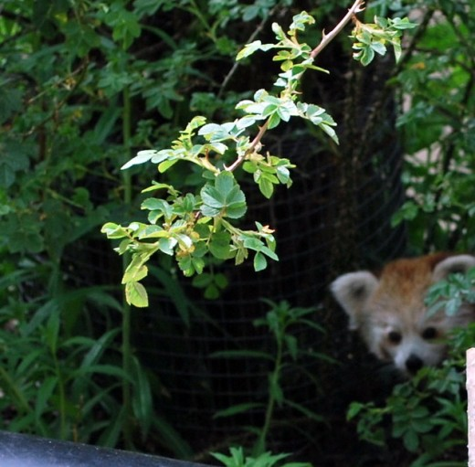 Red pandas are a little more cautious and you will have to look hard to spot this little fella.