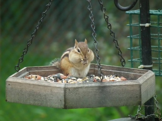 Another visitor enjoying the bird seed!