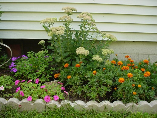Yarrow backing marigolds and petunias (the latter being annuals)