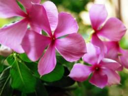 Vinblastine and Vincristine (Alkaloids)  obtained from Vinca rosea / Catharanthus roseus / Peri- winkle: