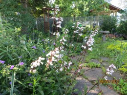 Digitalis plants
