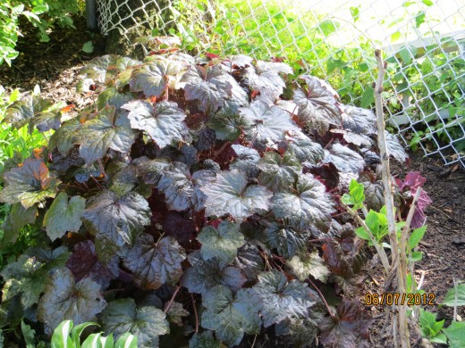These are actually known as Purple Coral Bells because of the color of their leaves
