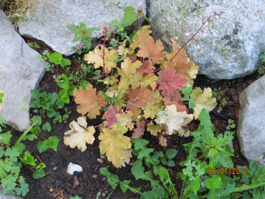 """This little coral bell (with flowers) is just getting started and is known as """"Carmel"""" it's leaves will get a darker golden color."""
