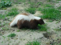 Typical skunk with telltale white stripe down the back.