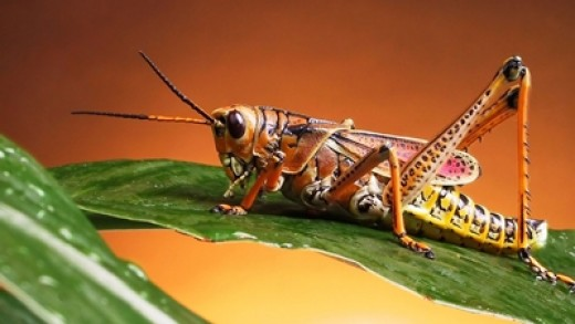 Facts about a grasshopper life cycle, one of amazing insect that ...
