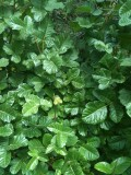 Poison Oak can also have less noticeable lobes on its leaves--it is a trickster