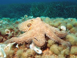 Just how intelligent is the octopus?