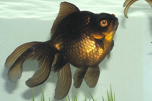 The Black Moor Goldfish